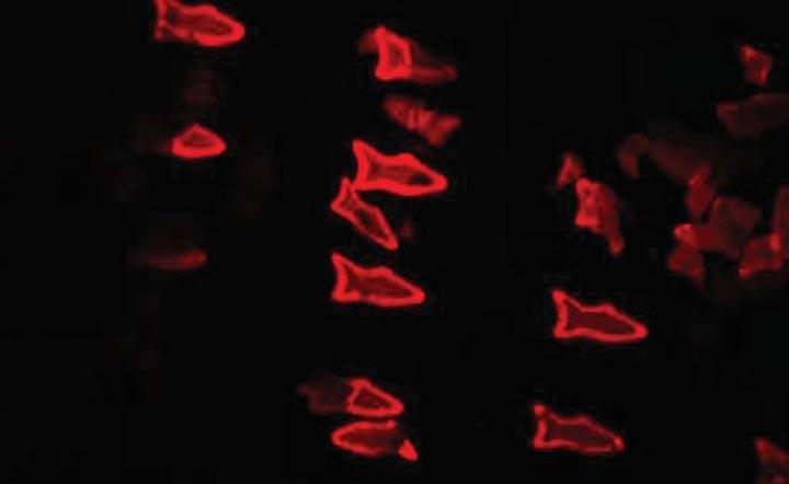 Искусственная рыба-микробот сможет очищать кровь человека от ядов