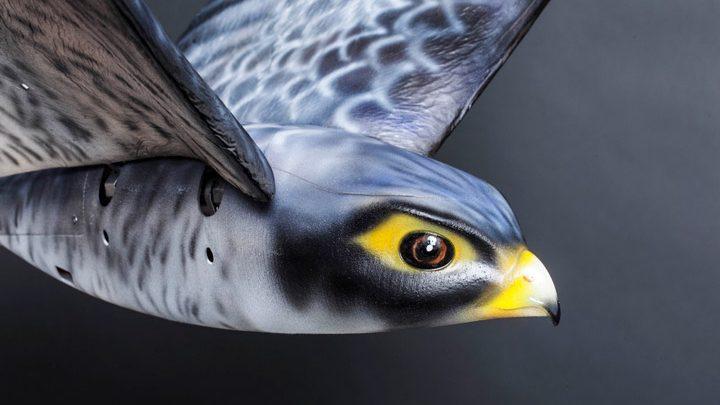 Сокол-робот отпугивать птиц в аэропорту Канады