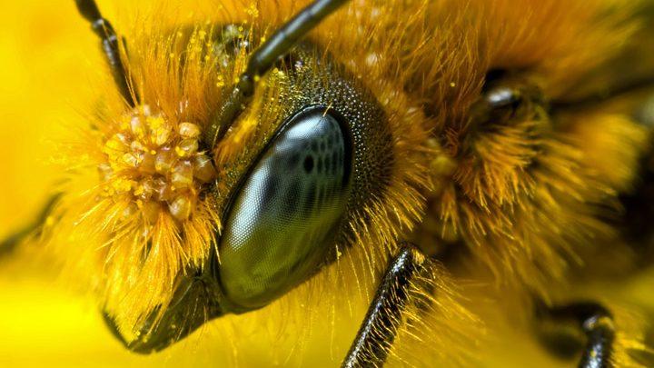 Пчелы помогут создать камеры нового поколения
